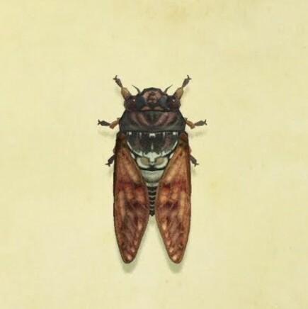 Brown Cicada
