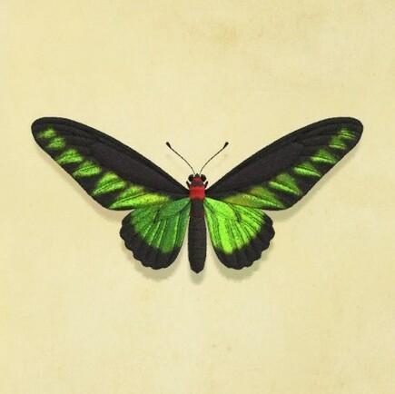 Raja Brooke's Birdwing