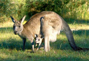 "Native to Australia, the kangaroo wears a pouch, also known as a ""Baby Cave"""