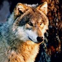 adamantwolf