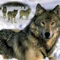 themajorwolfluver