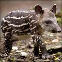 That_tapir_guy